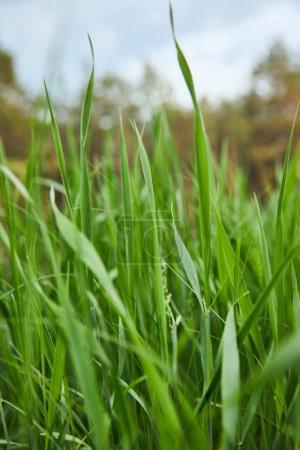 vue rapprochée de l'herbe vert clair sur fond de forêt