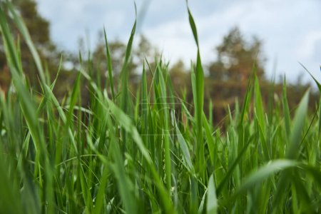selective focus of green grass on forest background