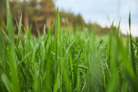 Foto de Enfoque selectivo en la hierba verde claro en el fondo del bosque - Imagen libre de derechos