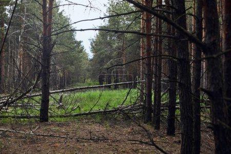 Photo pour Forêt de pins avec les arbres tombés et le pré vert - image libre de droit