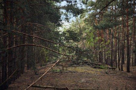 Photo pour Paysage de forêt de pins avec des arbres tombés et de grandes branches - image libre de droit