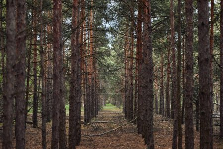 Photo for Forest with tall pine textured trees in rows - Royalty Free Image