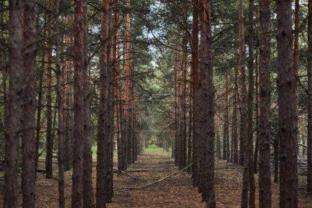 Photo pour Forêt avec de grands arbres texturés de pin dans des rangées - image libre de droit