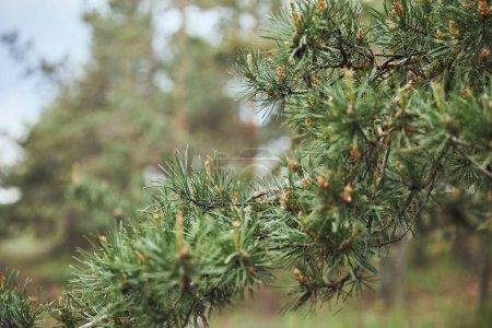 Photo pour Focus sélectif sur la branche de pin vert avec des aiguilles - image libre de droit