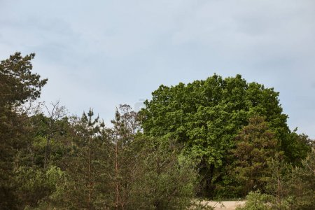 Photo for View of big green tree in forest - Royalty Free Image
