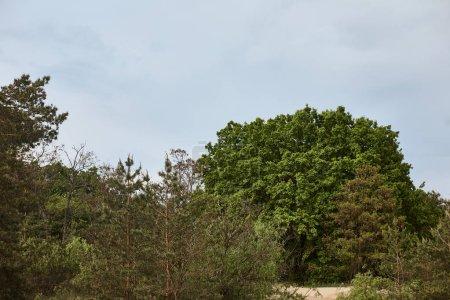 Photo pour Vue du grand arbre vert dans la forêt - image libre de droit