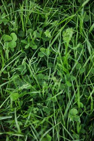 Foto de Top view of green grass and clover - Imagen libre de derechos