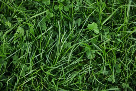 Photo for Top view of fresh green grass and clover - Royalty Free Image