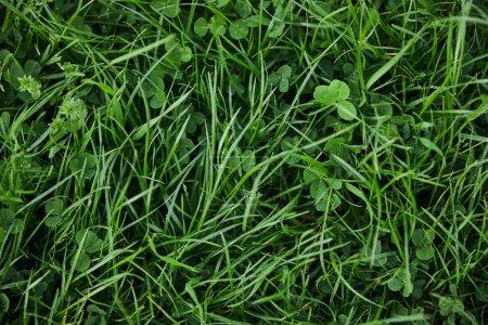 Photo pour Vue de dessus de l'herbe verte fraîche et du trèfle - image libre de droit
