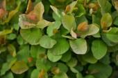 "Постер, картина, фотообои ""selective focus of plants with green colorful leaves """