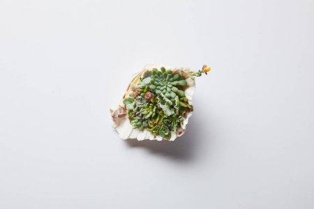Photo pour Vue de dessus de vert succulent en coquille sur fond blanc - image libre de droit