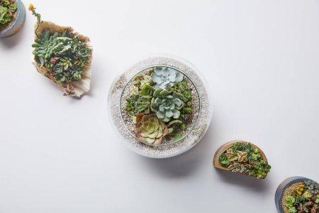 Foto de Vista superior de suculentas verdes en macetas y concha marina sobre fondo blanco - Imagen libre de derechos