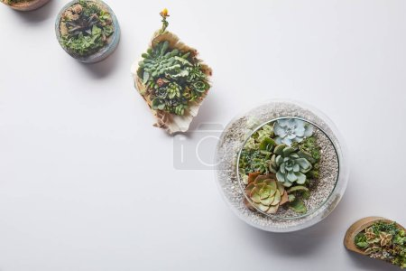 Photo for Top view of green succulents in flowerpots and seashell on white background with copy space - Royalty Free Image