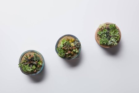 Photo for Flat lay with green succulents in three flowerpots on white background - Royalty Free Image