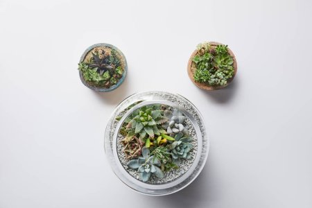 top view of three green succulents in flowerpots on white background