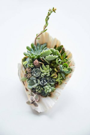 Photo for Close up view of green tropical succulents in decorative seashell - Royalty Free Image
