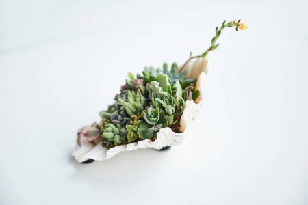 Photo for Exotic green succulents in decorative seashell on white surface - Royalty Free Image