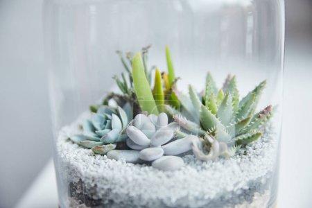 Photo pour Fermer vers le haut la vue des succulentes vertes dans le pot transparent de fleur - image libre de droit