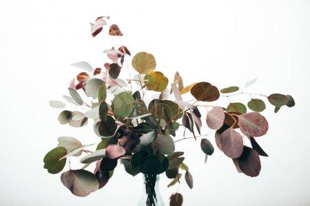 Photo pour Branches décoratives vertes d'eucalyptus dans le vase isolé sur le blanc - image libre de droit