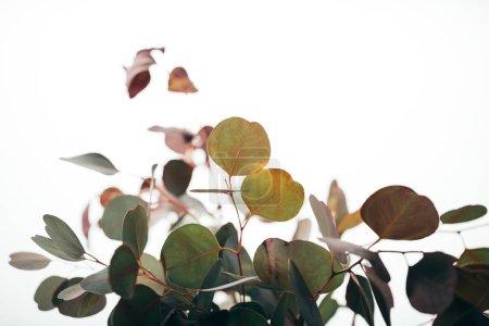 Photo pour Foyer sélectif des branches décoratives d'eucalyptus isolées sur blanc - image libre de droit