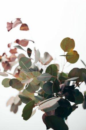Photo pour Foyer sélectif des branches d'eucalyptus isolées sur du blanc - image libre de droit
