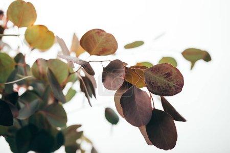 Photo pour Foyer sélectif des branches vertes d'eucalyptus isolées sur du blanc - image libre de droit