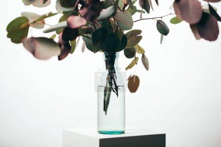 Photo pour Branches d'eucalyptus vert en bouteille isolée sur blanc - image libre de droit