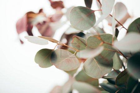 Photo pour Foyer sélectif des feuilles vertes d'eucalyptus isolées sur du blanc - image libre de droit
