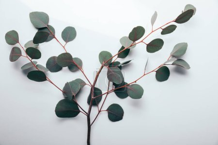 Photo for Top view of green eucalyptus branches on white - Royalty Free Image