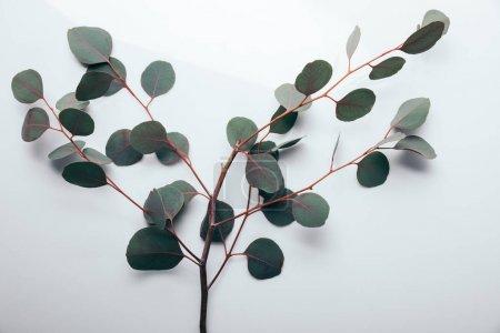 Photo pour Vue de dessus des branches vertes d'eucalyptus sur blanc - image libre de droit