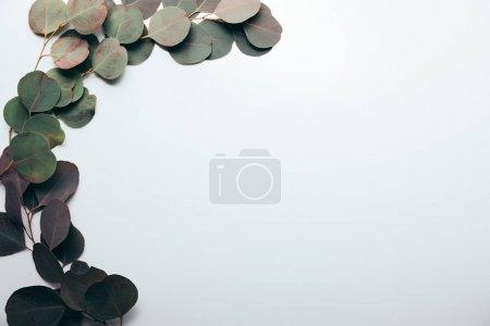 Photo pour Vue de dessus des branches vertes d'eucalyptus avec des feuilles sur blanc avec l'espace de copie - image libre de droit