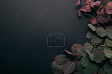 Photo pour Vue de dessus des feuilles d'eucalyptus sur noir avec espace de copie - image libre de droit