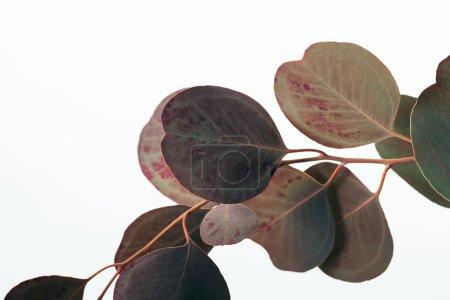 Photo pour Branche d'eucalyptus avec feuilles isolées sur blanc - image libre de droit