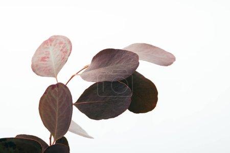 Photo pour Branche d'eucalyptus aux feuilles foncées isolées sur blanc - image libre de droit