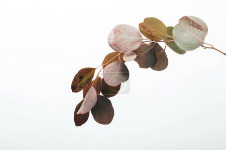Foto de Close up of eucalyptus branch with leaves isolated on white - Imagen libre de derechos