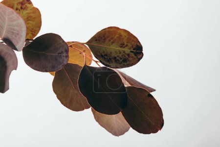 Photo for Close up of dark eucalyptus branch isolated on white - Royalty Free Image