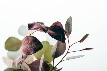 Photo pour Gros plan des branches décoratives d'eucalyptus isolées sur du blanc - image libre de droit