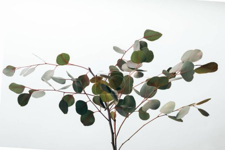 Photo pour Branches vertes décoratives d'eucalyptus d'isolement sur le blanc - image libre de droit