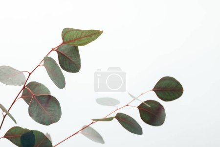 Photo pour Fermer des branches vertes d'eucalyptus d'isolement sur le blanc - image libre de droit