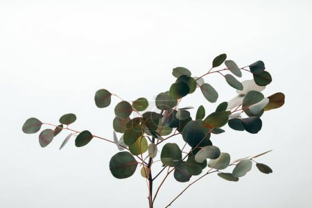 Photo for Close up of green eucalyptus plant isolated on white - Royalty Free Image