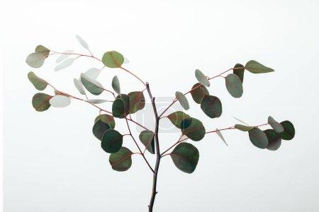 Photo pour Branches d'eucalyptus vert avec des feuilles isolées sur blanc - image libre de droit