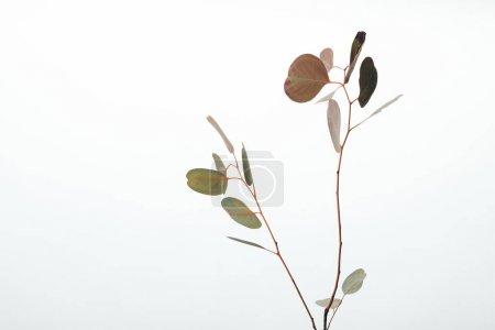 Photo pour Branches d'eucalyptus décoratives vertes isolées sur blanc - image libre de droit