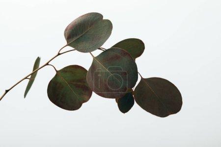 Photo for Green decorative eucalyptus plant isolated on white - Royalty Free Image