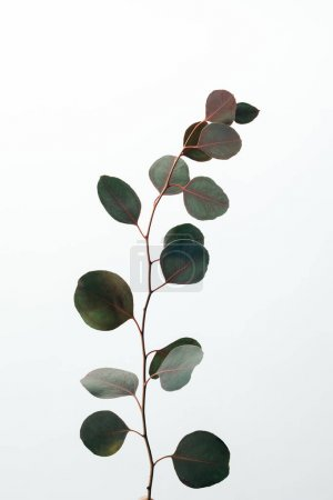 green decorative eucalyptus branch isolated on white