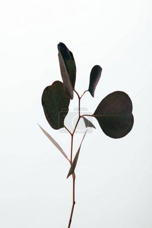Photo pour Feuilles décoratives vertes d'eucalyptus d'isolement sur le blanc - image libre de droit