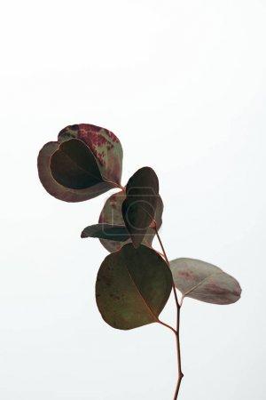 Photo pour Branche d'eucalyptus décorative verte isolée sur blanc - image libre de droit