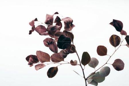 Photo pour Gros plan des branches sèches d'eucalyptus isolées sur du blanc - image libre de droit