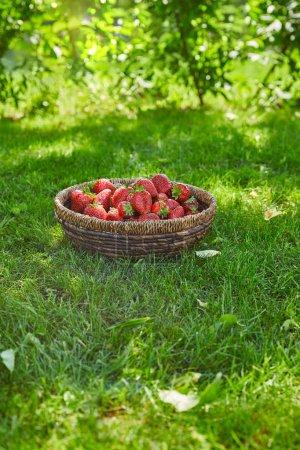 Photo pour Fraises organiques dans le bol d'osier sur l'herbe verte dans le jardin - image libre de droit