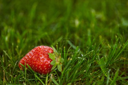 Photo for Selective focus of fresh strawberry on green grass with copy space - Royalty Free Image
