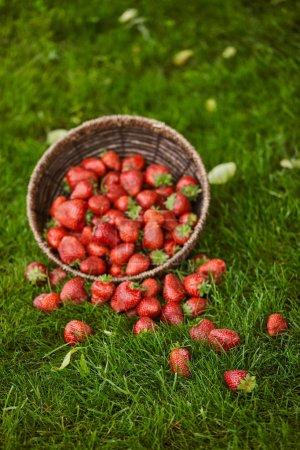 Photo pour Fraises rouges délicieuses dans le panier d'osier sur l'herbe verte - image libre de droit